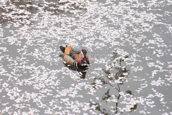Stock photo: Full bloomed cherry blossoms and Mandarin Duck