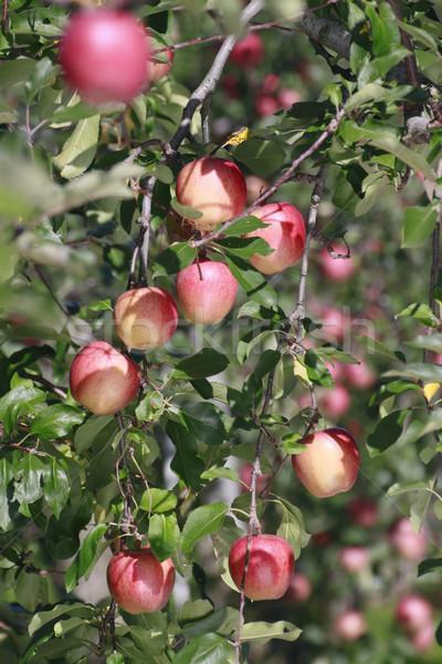Kırmızı elma elma ağacı şube gıda elma Stok fotoğraf © yoshiyayo