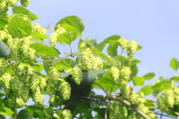 Verde verano frescos naturaleza frutas Foto stock © yoshiyayo