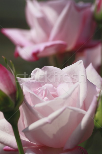 Belo rosa jardim beleza folhas Foto stock © yoshiyayo