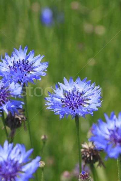 Niebieski dziedzinie lata liści zielone Zdjęcia stock © yoshiyayo