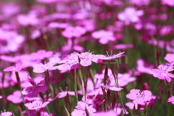 Rosa natureza jardim beleza verde Foto stock © yoshiyayo