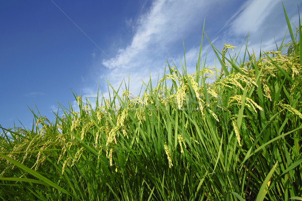 Landscape of rice field with blue sky  Stock photo © yoshiyayo