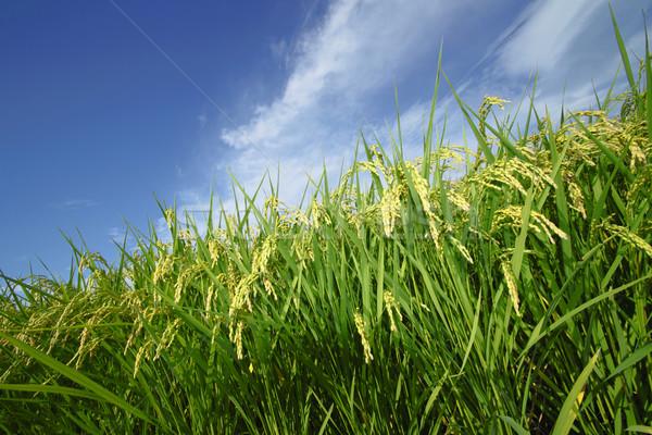Paisagem arrozal blue sky comida grama asiático Foto stock © yoshiyayo