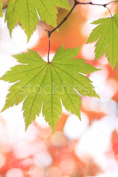 green maple Stock photo © yoshiyayo