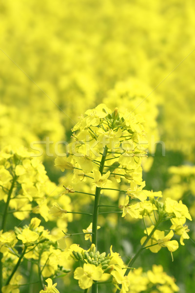 Stock photo: Rape field, canola crops