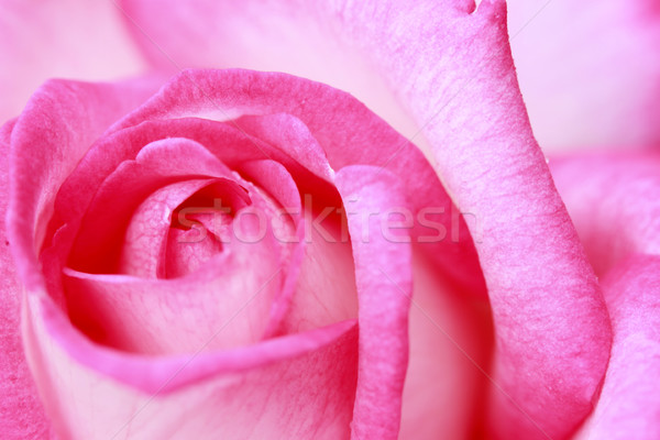 Grupo roxo primavera flor natureza Foto stock © yoshiyayo
