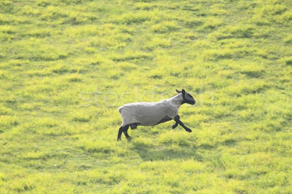 sheep    Stock photo © yoshiyayo