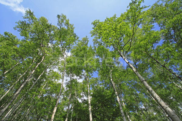 Japonês branco bétula floresta natureza campo Foto stock © yoshiyayo