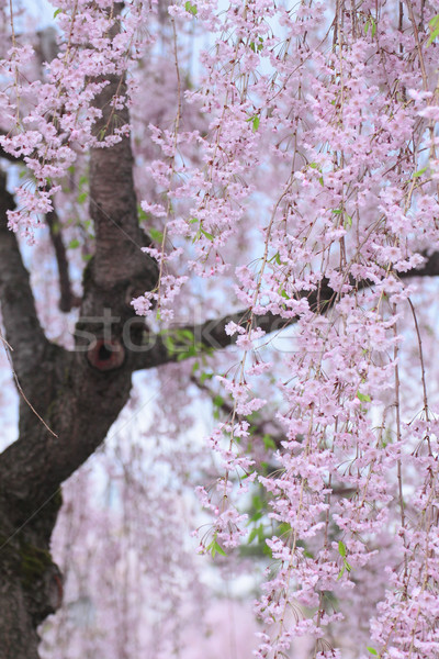 Stock photo: Full bloomed cherry blossoms