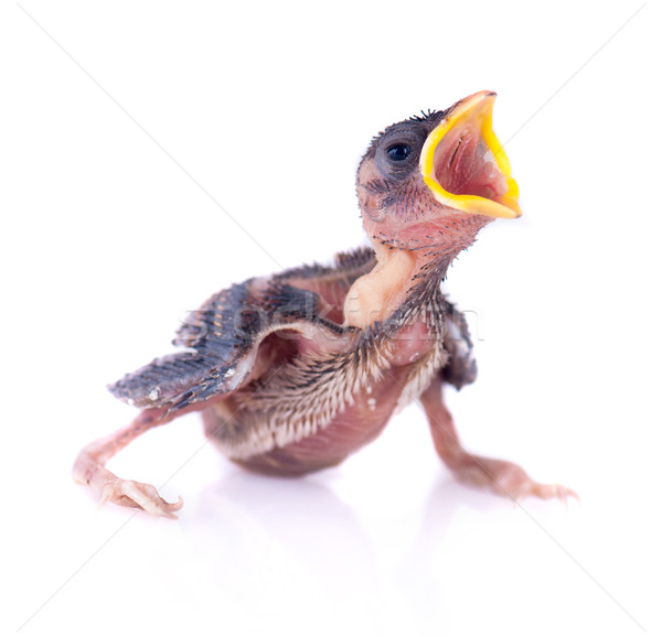 Baby bird of swallow solated on white and hungry for food Stock photo © yuliang11