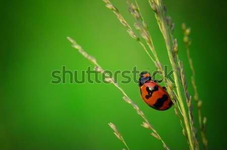 close up photo of ladybird with natural green background Stock photo © yuliang11