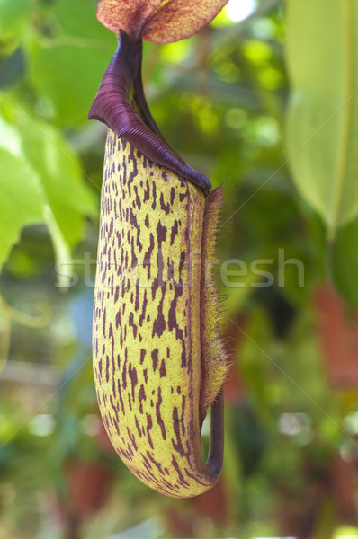 carnivorous pitcher plant  Stock photo © yuliang11