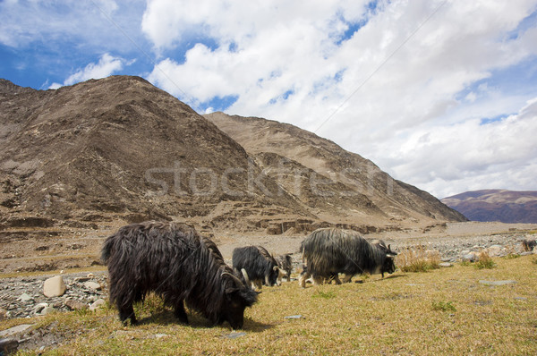 Tibetan landscape with grazing sheep and goats Stock photo © yuliang11