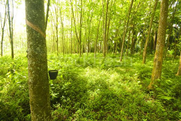 Rubber boom shot bomen gras Stockfoto © yuliang11