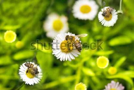 Bee bloem voorjaar gras zomer daisy Stockfoto © yuliang11