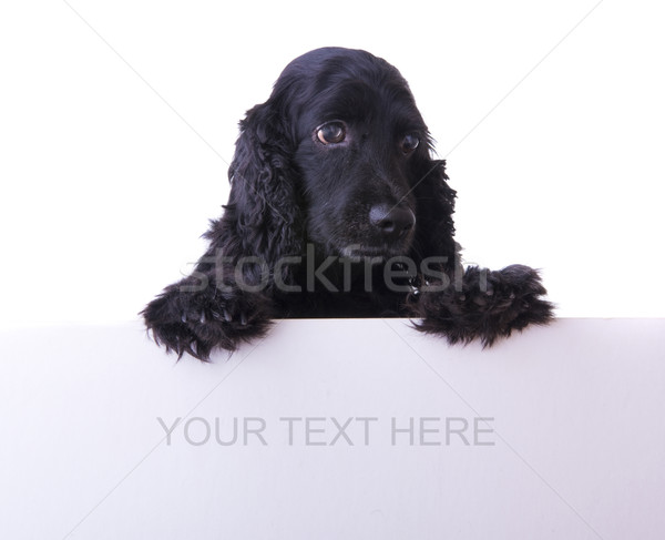 cocker spaniel dog Stock photo © yuliang11
