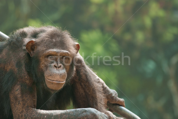Csimpánz portré öreg haj szomorú állatok Stock fotó © yuliang11