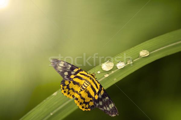 Schmetterling Blume Frühling Natur Sommer Stock foto © yuliang11