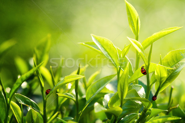 Tea Leaf with Plantation in the Background Stock photo © yuliang11