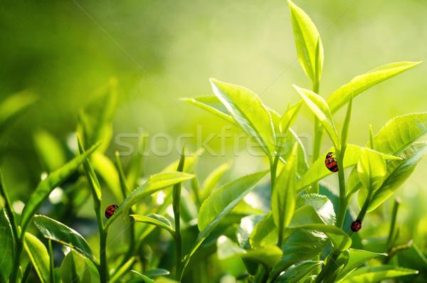 Thee blad plantage hemel boom natuur Stockfoto © yuliang11
