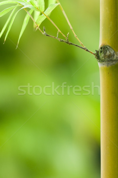 bamboo with plenty of green copyspace for background purpose Stock photo © yuliang11