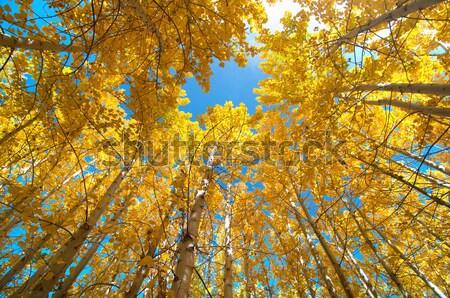 Stock photo: Upward view of Fall Aspen Trees
