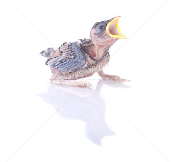 スズメ 赤ちゃん ショット 背景 動物 ストックフォト © yuliang11