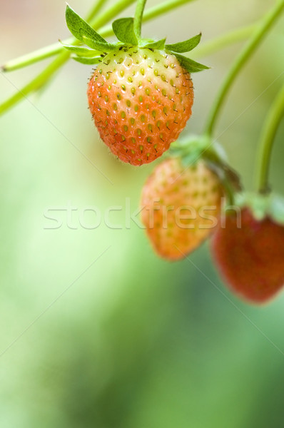 Strawberry fruits on the branch with morning golden sunlight shi Stock photo © yuliang11