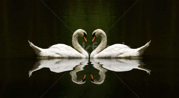 Cygne amour réflexion belle lac nature Photo stock © yuliang11