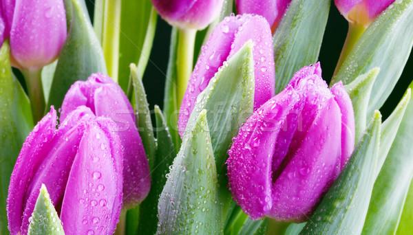 Frischen lila Tulpen Haufen Stock foto © yurok