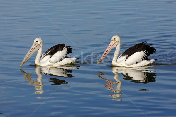 Australian Pelican Stock photo © zambezi