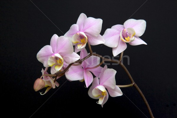 Minature Orchid Stock photo © zambezi