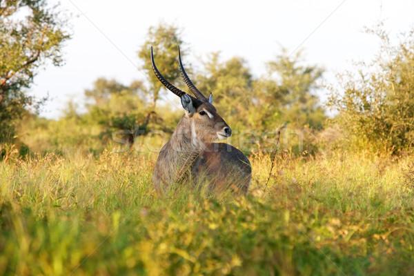 Common Waterbuck Bull Stock photo © zambezi