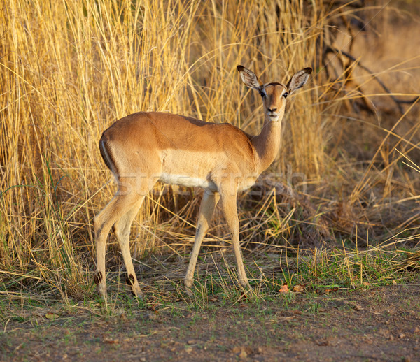 Impala Ewe Stock photo © zambezi