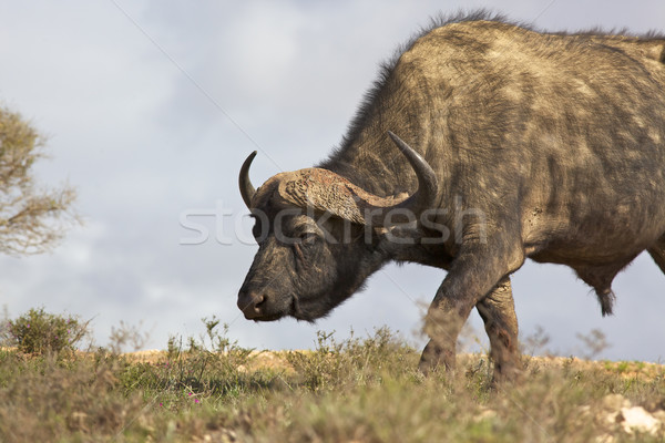 African Buffalo Stock photo © zambezi