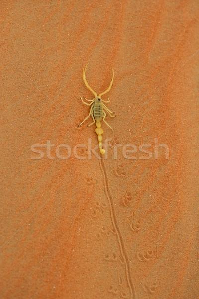 Arabski skorpion wysoko pusty Zdjęcia stock © zambezi