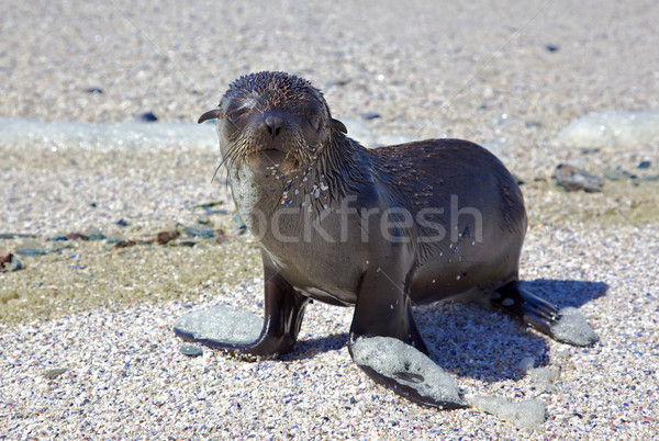 Cape Fur Seal Stock photo © zambezi