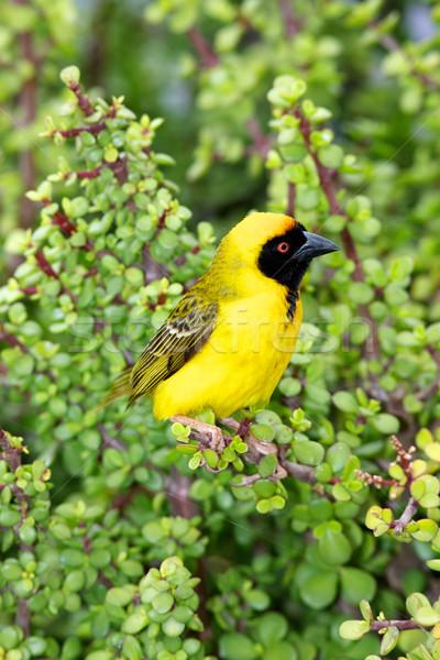 Southern Masked Weaver Stock photo © zambezi