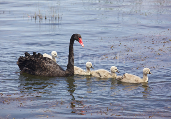 Black Swan Stock photo © zambezi