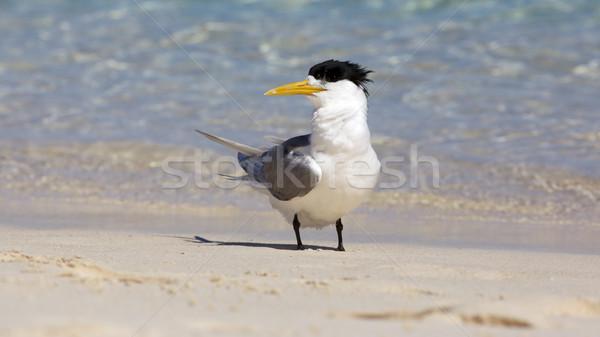 Crested Tern Stock photo © zambezi