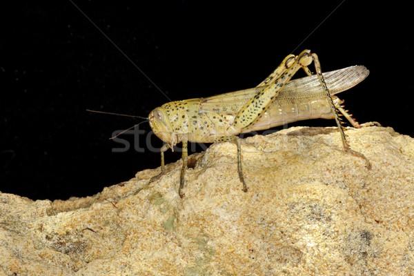 Locust Stock photo © zambezi