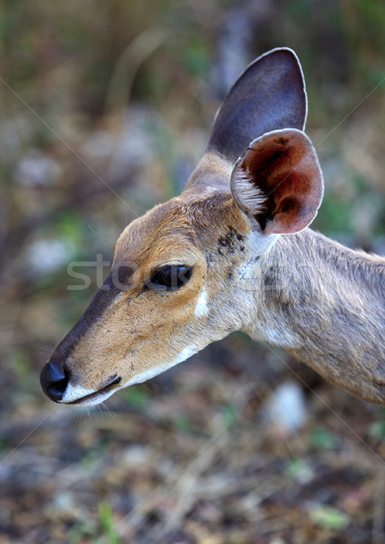 Stock photo: Young Bushbuck