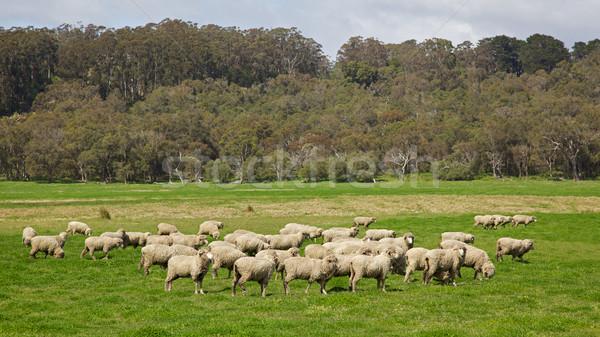 Australian Sheep Stock photo © zambezi