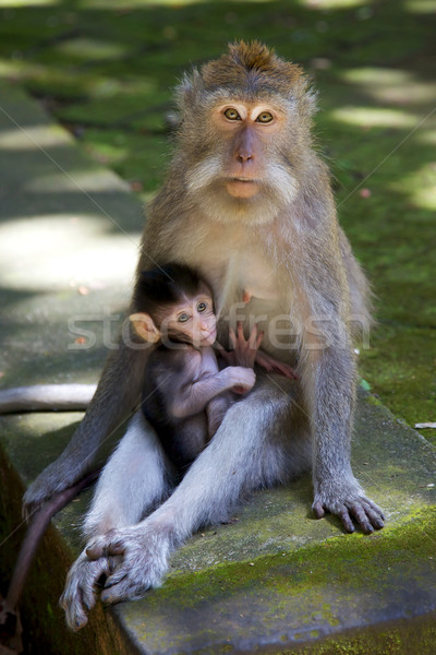 Long-tailed Macaque Stock photo © zambezi