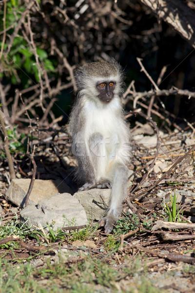 Young Vervet Monkey Stock photo © zambezi