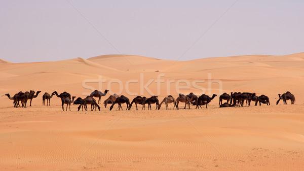 Empty Quarter Camels Stock photo © zambezi
