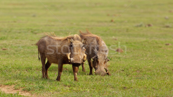 Warthogs Stock photo © zambezi