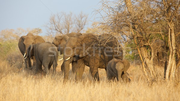 Elephant Herd Stock photo © zambezi