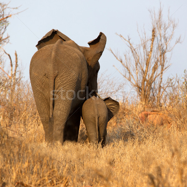 Elephant with Calf Stock photo © zambezi